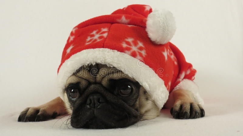 Laying pug with santa costume stock photo