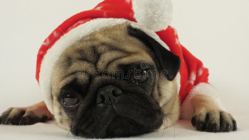Laying pug with santa costume royalty free stock photo