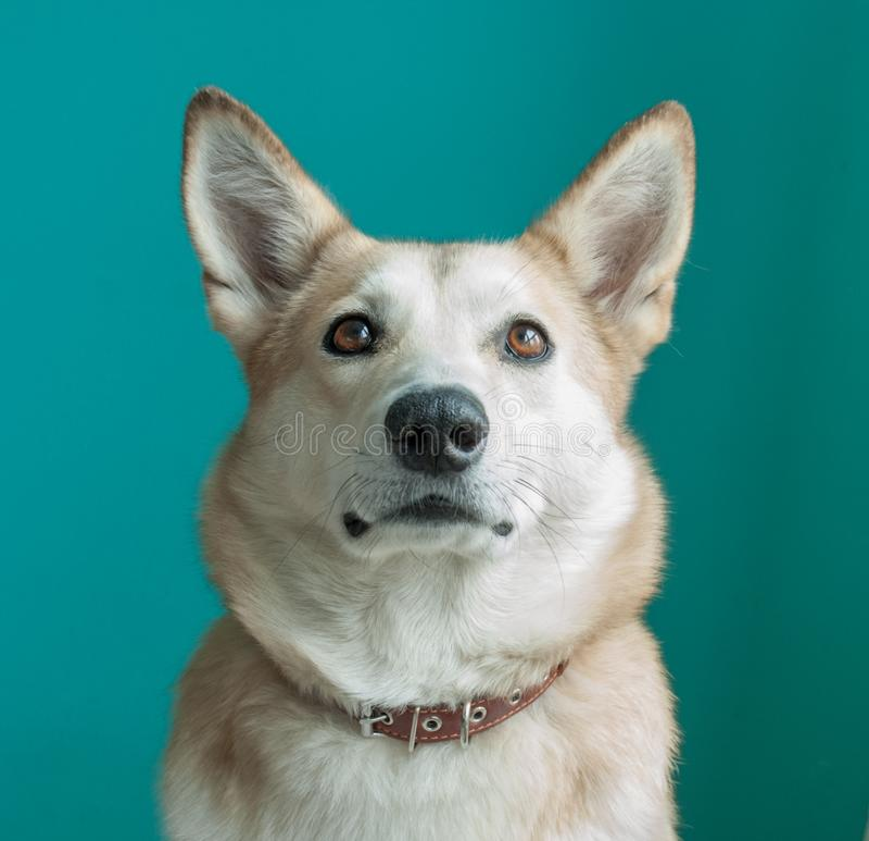 Layka husky dog. Detailed portrait on a blue background royalty free stock photo