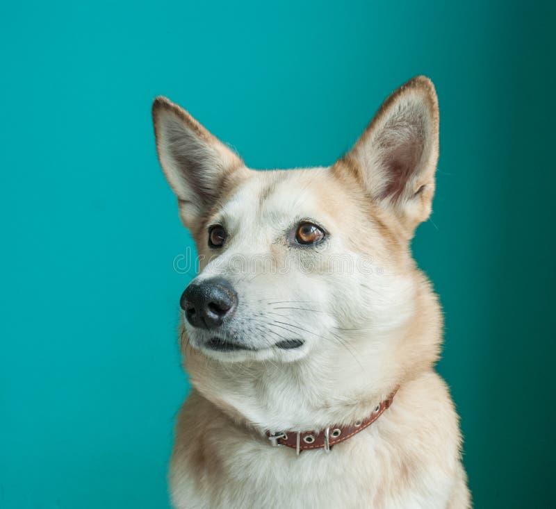 Layka husky pies Szczegółowy portret na błękitnym tle zdjęcia stock