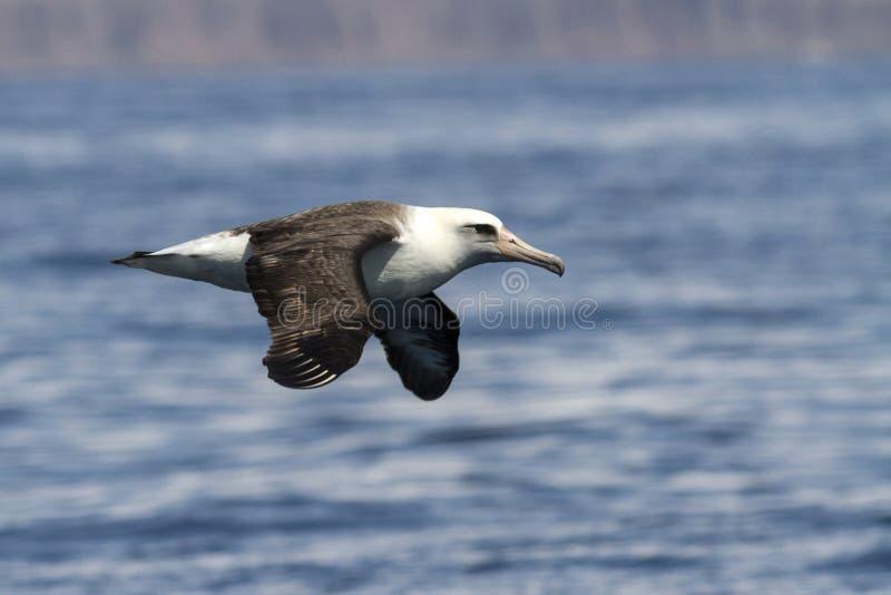 Laysanalbatros die over de wateren vliegt royalty-vrije stock foto's