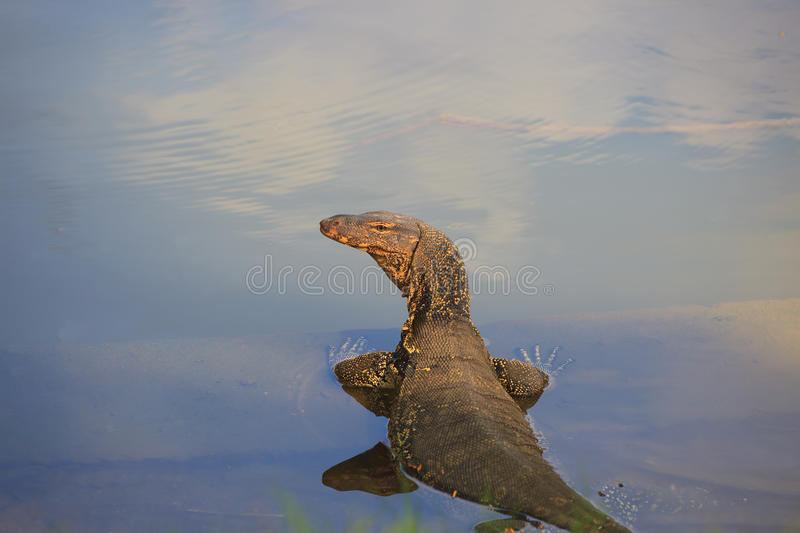 Download Lazard in the water stock image. Image of park, crocodile - 22051895