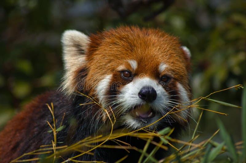 Lazer panda stock photos
