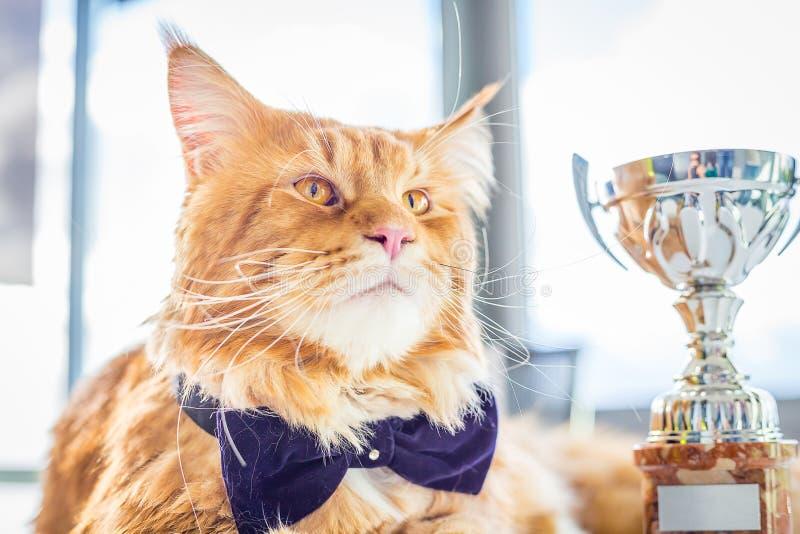 Lazo de mariposa de Maine Coon Cat del campeón que lleva encantador que se sienta con su cubilete fotos de archivo