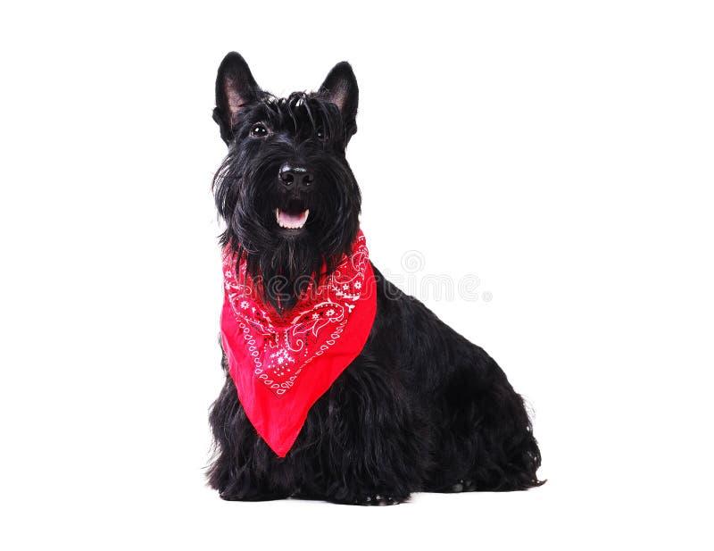 Lazo negro del pañuelo del terrier que lleva escocés fotos de archivo