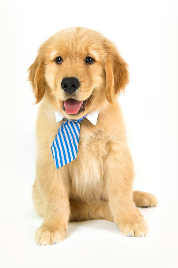 Lazo que lleva del perrito de oro en un fondo blanco fotos de archivo