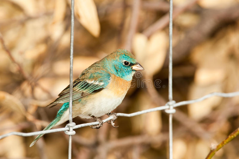 Lazuli Bunting. Adult Male Lazuli Bunting Perched on Wire Fence stock image