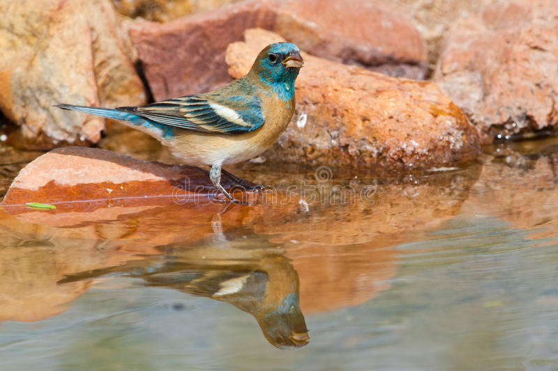 Lazuli Bunting. Adult Male Lazuli Bunting Standing at Edge of Pond With Reflection royalty free stock images