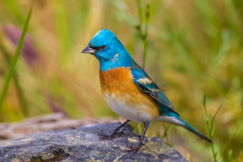 Lazuli Bunting. Adult Male Lazuli Bunting In Breeding Plumage Perched On Boulder With Green Foliage Background royalty free stock images