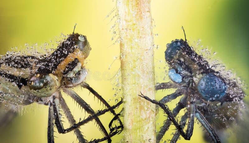 Lazurowy damselfly, Coenagrion puella obraz stock
