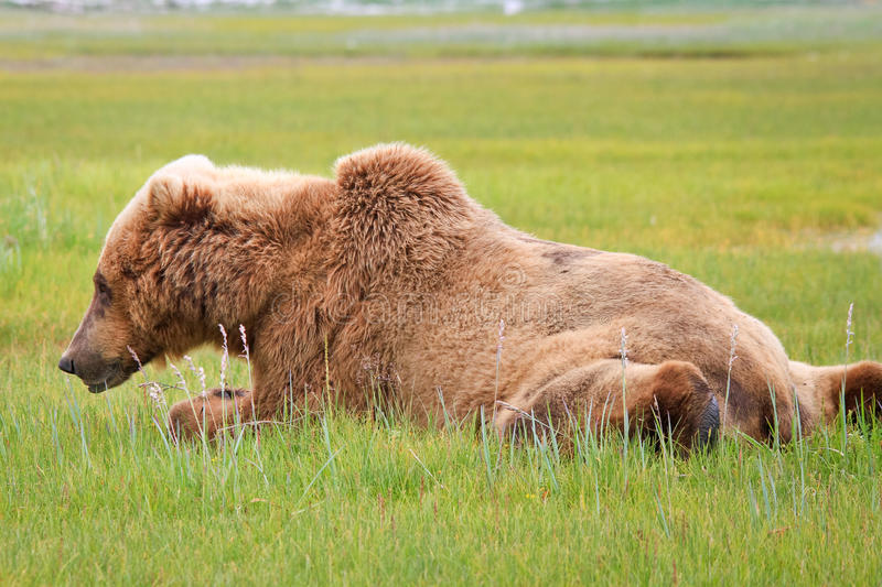 Lazy Alaska Brown Grizzly Bear in Katmai. A male coastal brown bear takes a short lazy break from grazing his way through a sweet salt grass meadow in Hallo Bay royalty free stock photo