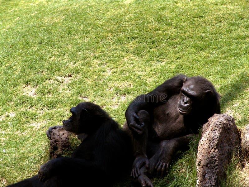 Lazy Ape Stock Photo