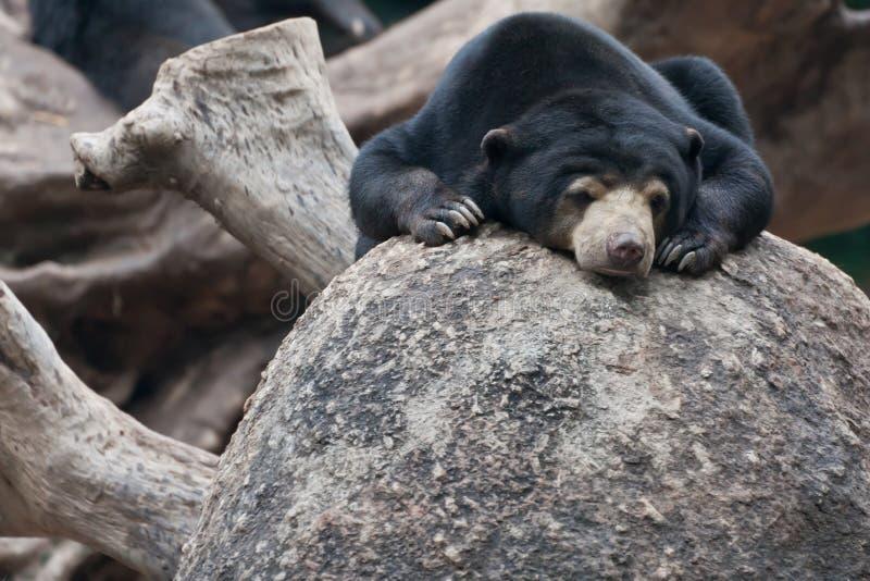 Lazy black bear royalty free stock photo