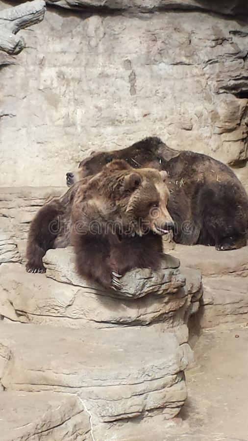 Lazy Brown Bears royalty free stock images