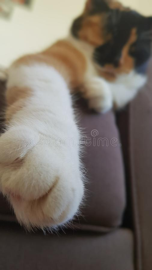 Lazy calcio cat and her paw. royalty free stock photo