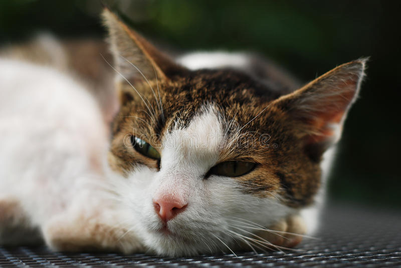 Download Lazy cat stock photo. Image of lovely, tired, rest, fluffy - 10723428