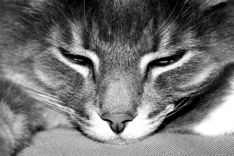 Download Lazy cat stock image. Image of animal, white, sleeping - 1747489