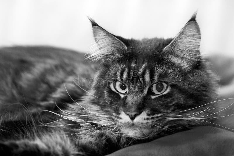 Download Lazy cat stock photo. Image of cute, feline, head, monochrome - 8736154