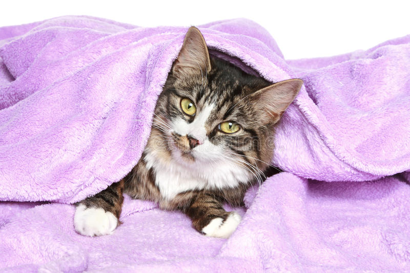 Download Lazy Cat Is Covered With A Blanket Stock Photo - Image of brown, striped: 18371666