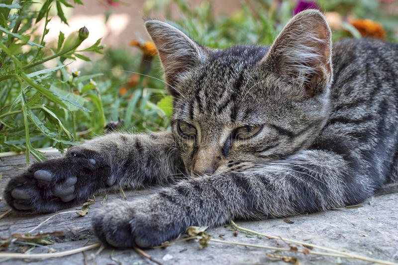Lazy cat is lying on a bench. A closeup of a lazy kitten is lying on a bench while stretching legs. Gray striped cat lays down on wooden surface in the backyard royalty free stock images