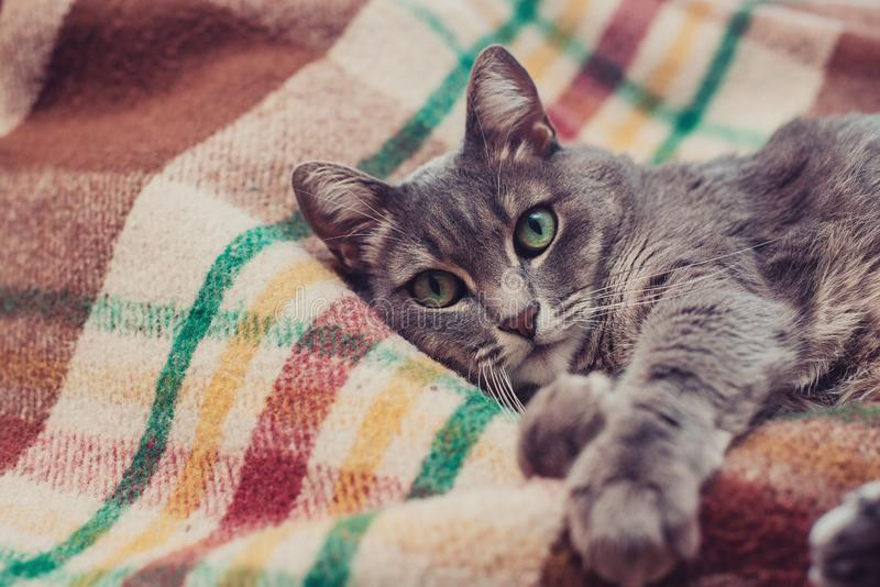 Lazy cat relaxing on soft blanket. Pets, lifestyle, cozy autumn or winter weekend, cold weather concept. royalty free stock photo