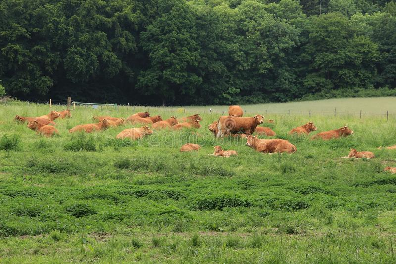 Lazy cows. stock image