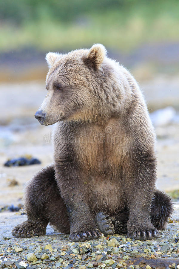 Lazy day for brown bear. Lazy day for bear on river stock photos