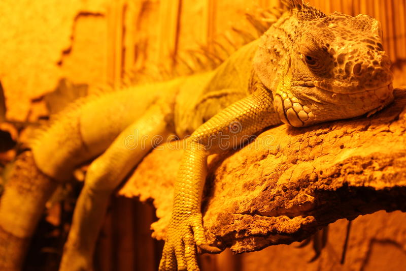 Lazy day. A reptile in a lazy day stock photography