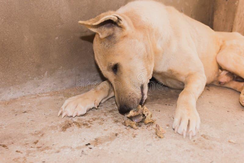 Lazy dog laying down to eating bone stock photo