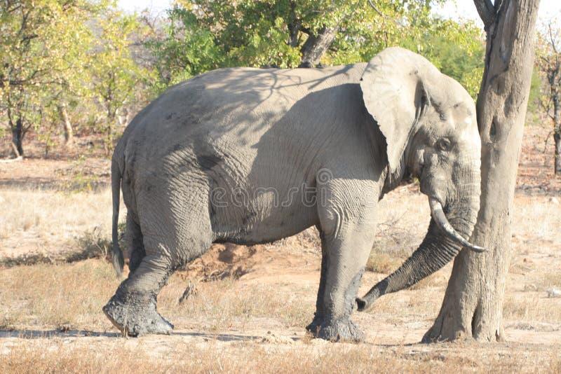 Download Lazy Elephant stock image. Image of national, wildlife - 175393