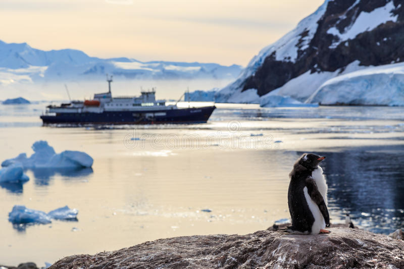 Lazy Gentoo penguin chick standing on the rocks with cruise ship royalty free stock photos