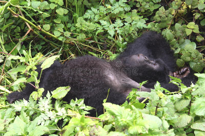 Download Lazy Gorilla stock photo. Image of leaves, african, trek - 26844494