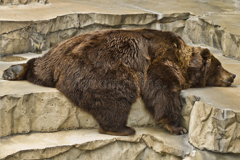 Lazy Grizzly Bear royalty free stock images