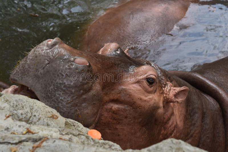 Lazy hippo in the water at the zoo. In Asia with mouth open looking at the camera stock image