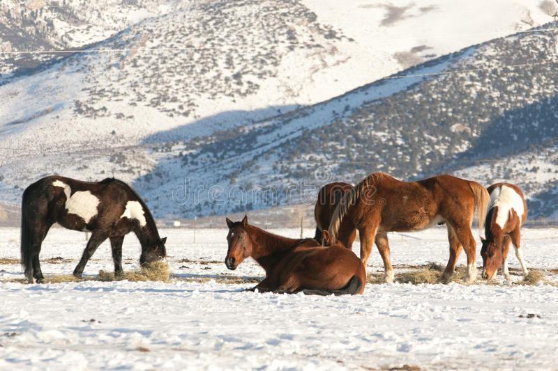 Lazy horses in the Ruby Mountain Valley royalty free stock photos