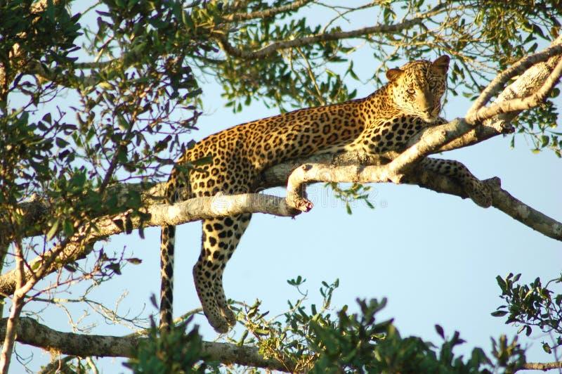 Lazy leopard stock photos