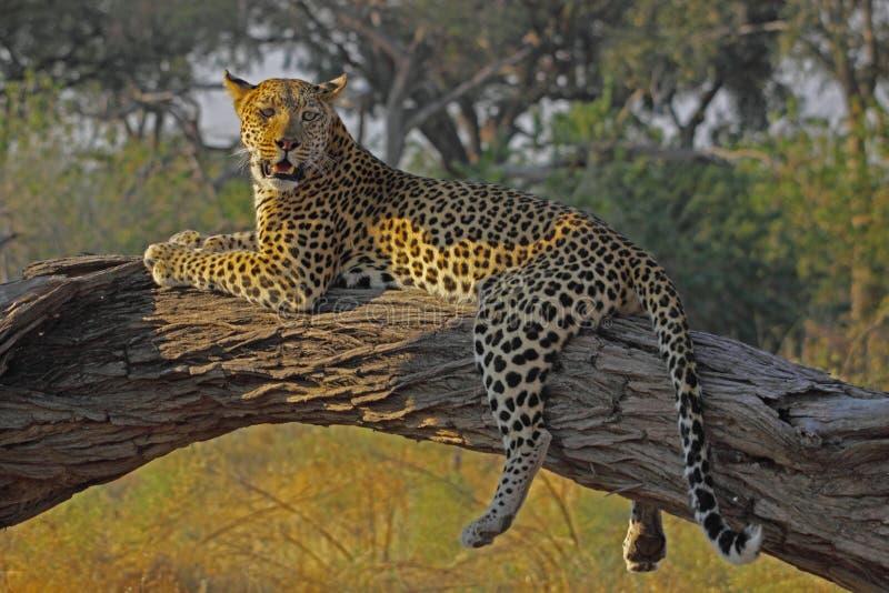 Lazy leopard stock image