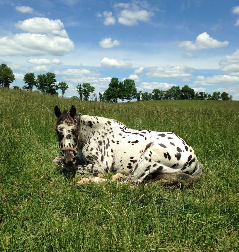 Lazy Leopard Appaloosa royalty free stock photo
