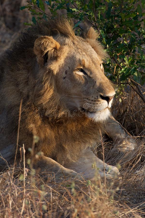 Lazy Lion in Kruger National Park. Lions rest on an early morning in Kruger National Park after hunting all night royalty free stock image