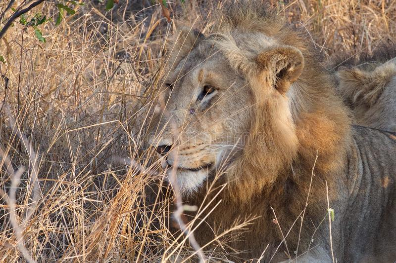 Lazy Lion in Kruger National Park. Lion rest on an early morning in Kruger National Park after hunting all night royalty free stock image
