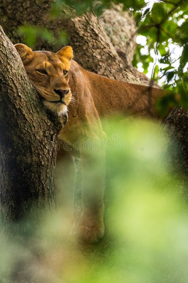 A lioness resting in a tree in Murchison Falls National Park. A lazy lioness resting in a tree in Murchison Falls National Park stock image