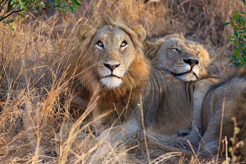 Lazy Lions in Kruger National Park stock photo
