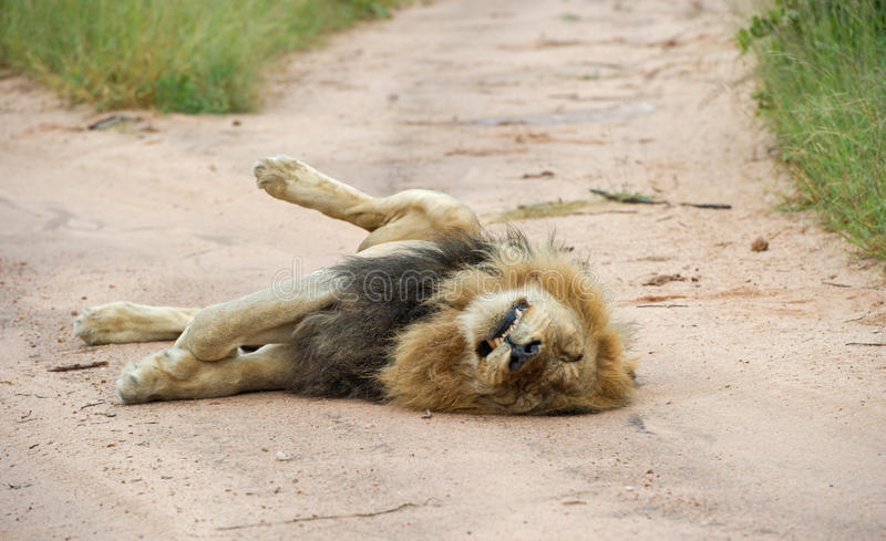 Lazy male lion lying in the road stock image