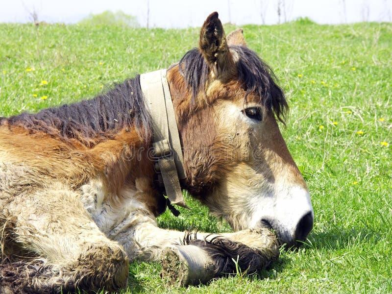 Lazy mule stock photography