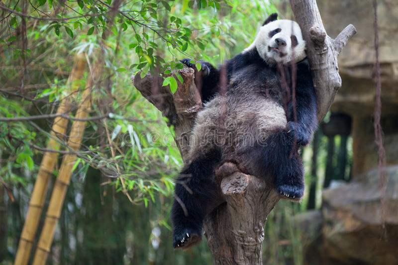 Lazy Panda. A lazy panda is sleep on a tree but he still can hold his position comfortable royalty free stock photos