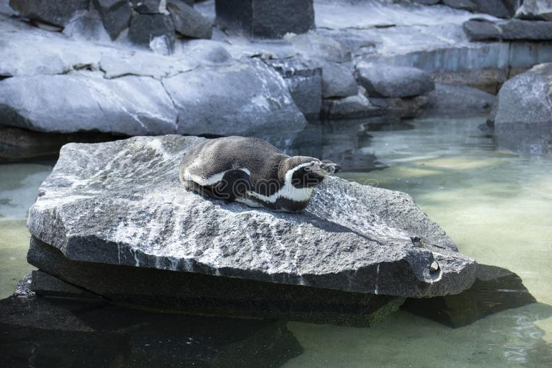 Lazy penguin in the zoo. Lazy pengiun is resting on the sun in zoo stock photography