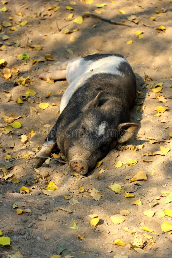 Download Lazy pig sleeping stock photo. Image of bored, animals - 26328046