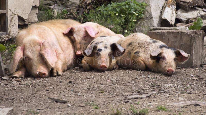 Lazy pigs royalty free stock photos