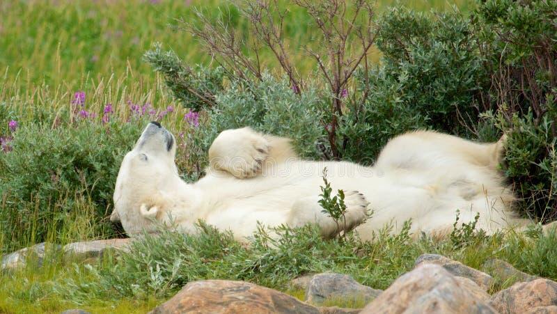 Lazy Polar Bear in the Tundra 1. Lazy Canadian Polar Bear wallowing, stretching and sleeping in the the Arctic tundra of the Hudson Bay near Churchill, Manitoba royalty free stock photo