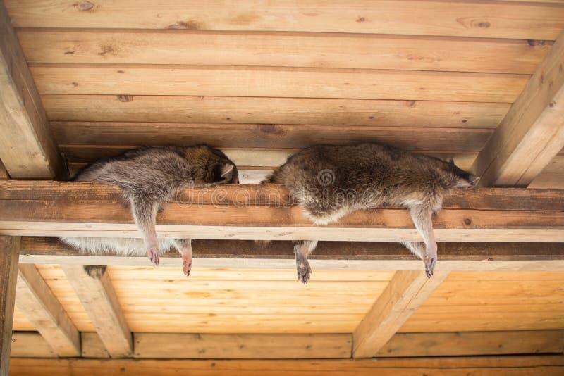 Lazy raccoons royalty free stock photography